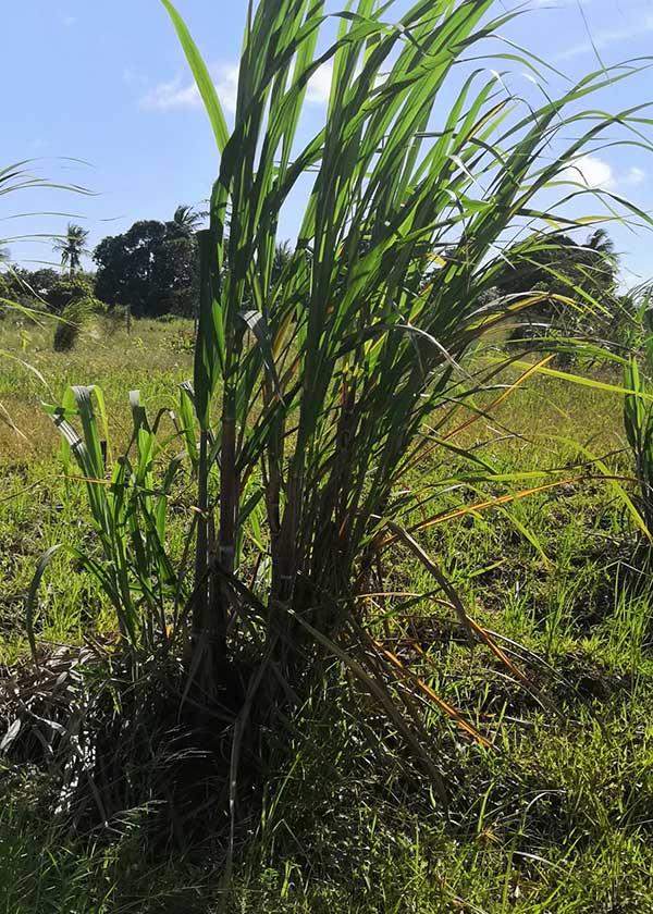 Zuckerrohrpflanze