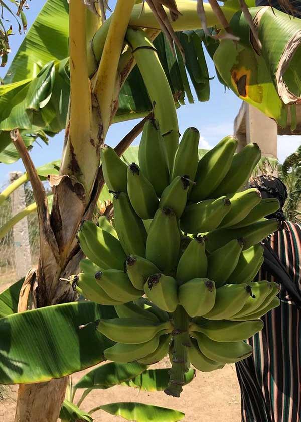Bananen auf der Farm